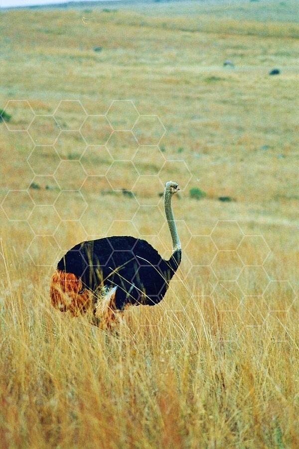 Ostrich 0011