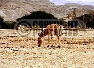 African Wild Ass 0004