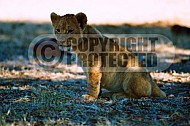 Lion 0034