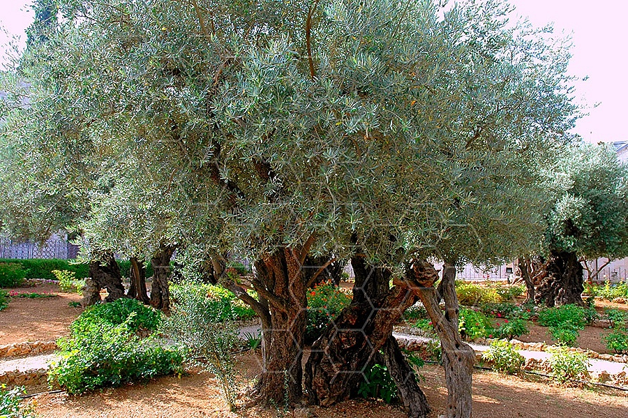 Jerusalem Gethsemani 019