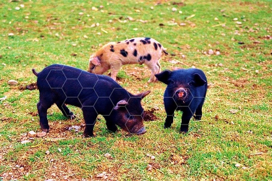 Pig 0003