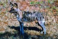 Wild Dog 0004