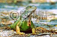 Iguana 0001