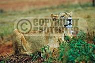 Lion 0021