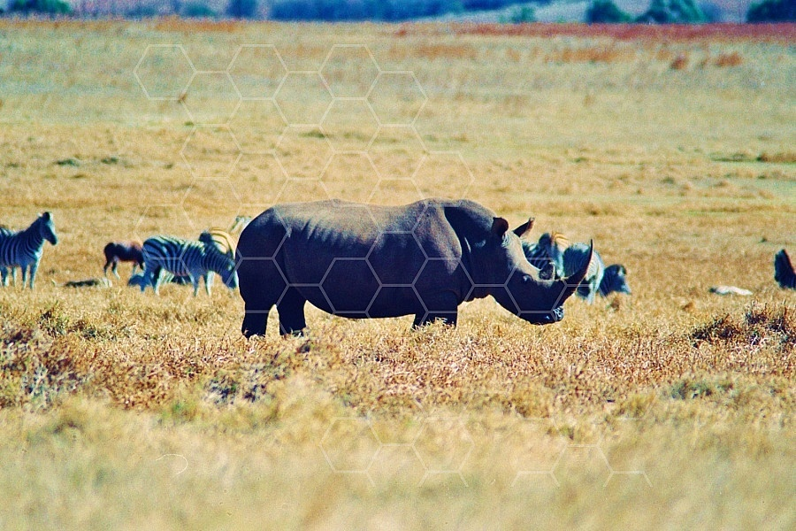 Rhinoceros 0001