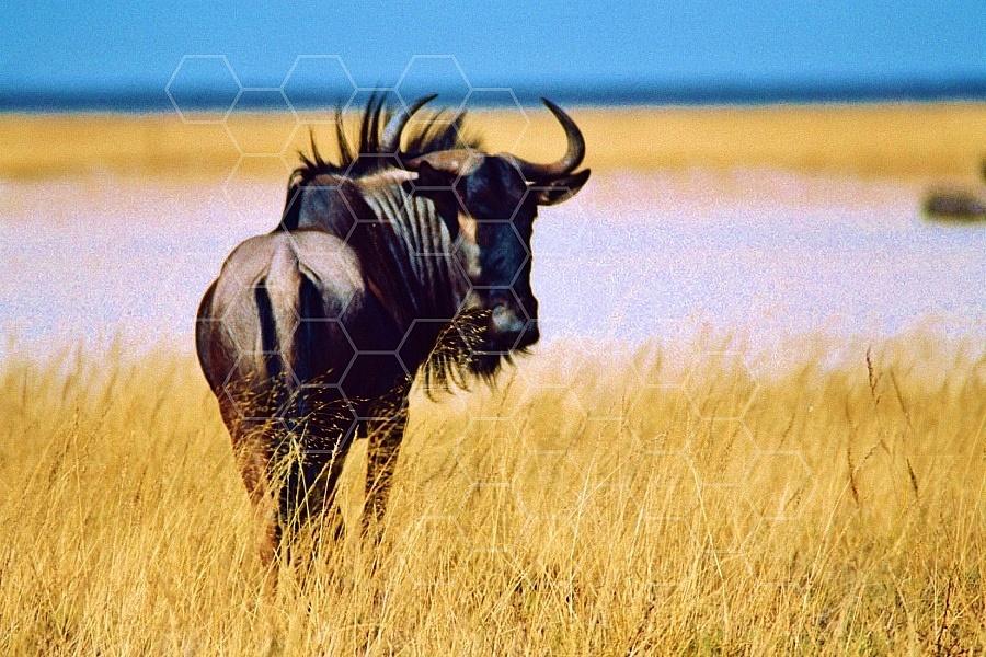 Wildebeest 0005