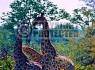 Giraffe 0030