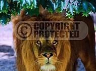 Lion 0058