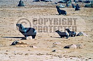 Seal Fish 0018