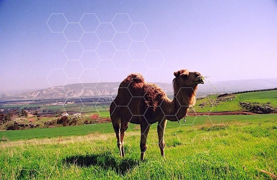 Camel 0020