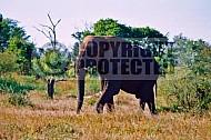 Elephant 0047