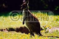 Kangoroo 0001