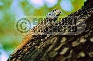 Lizard 0001