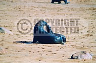 Seal Fish 0017