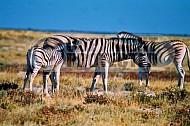 Zebra 0001