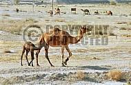 Camel 0017