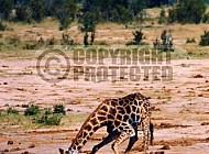 Giraffe 0022