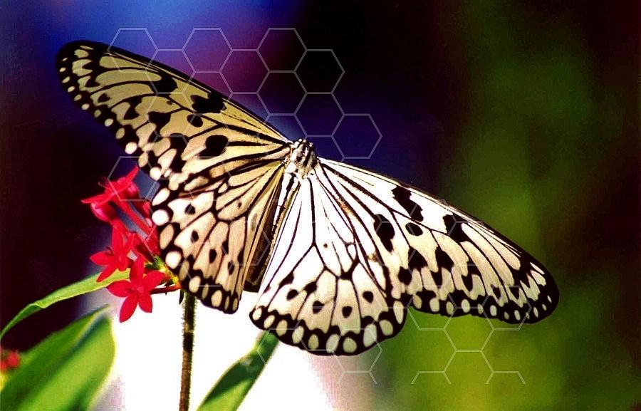 Butterfly 0055