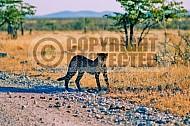 Cheetah 0018