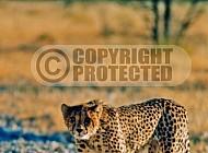 Cheetah 0024
