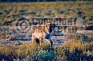 Spotted Hyena 0008