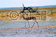 Springbok 0005