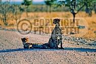 Cheetah 0019