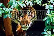 Tiger 0002
