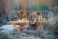Lion 0045