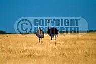 Ostrich 0001