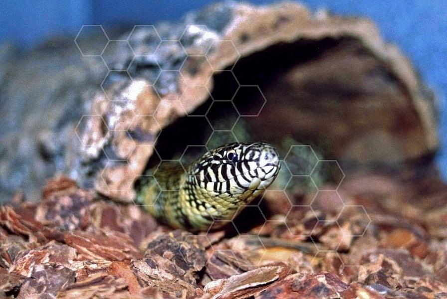 Viper Snake 0007