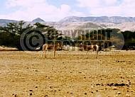 African Wild Ass 0005