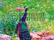 Peacock 0006