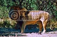 Lion 0011