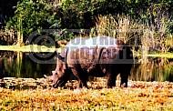 Rhinoceros 0009