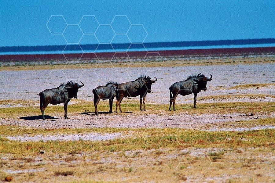 Wildebeest 0006
