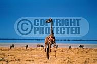 Giraffe 0013