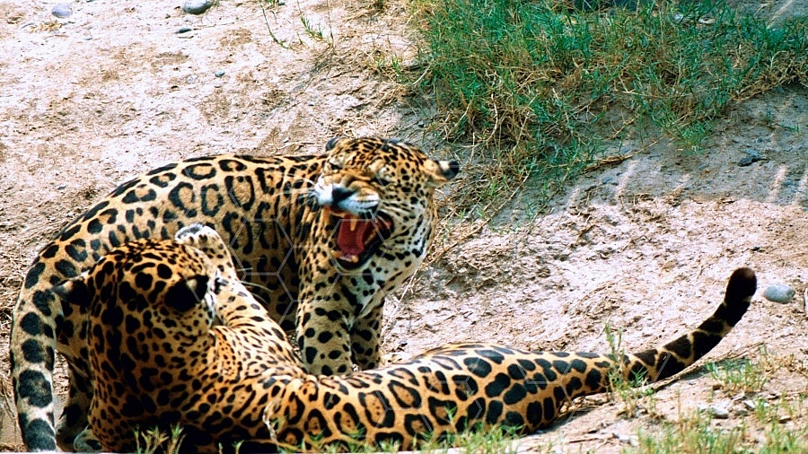 Jaguar 0004