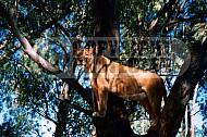 Lion 0035