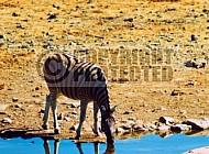 Zebra 0019