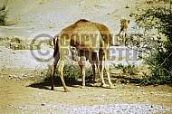 Camel 0011