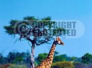Giraffe 0021