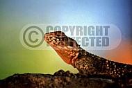 Lizard 0014