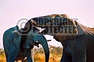 Elephant 0062