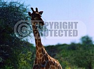 Giraffe 0032