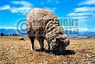 Sheep 0007