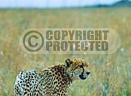 Cheetah 0026
