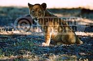 Lion 0033