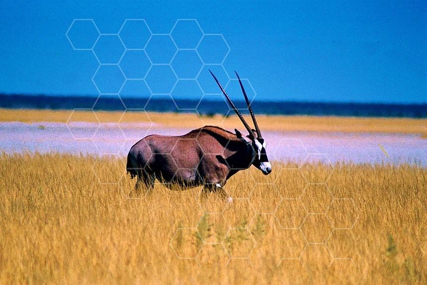 Oryx 0020
