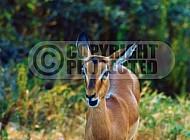 Springbok 0011